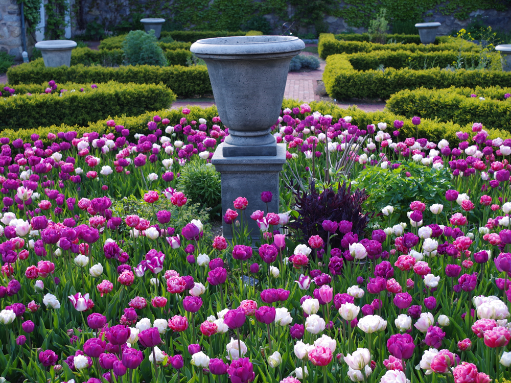 Tulips surrounding a stone urn bordered by square topiaries
