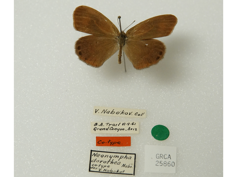 Butterfly specimen labeled V. Nabokov. Cal! B. A. Trail V1-9-41, Grand Canyon, Ariz. Co-type, Neonympha dorothea