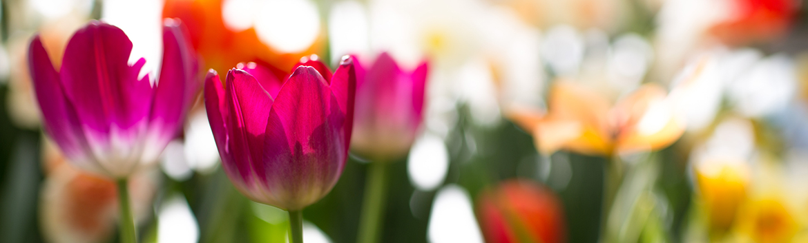 Tulips in bloom at the spring bulb show