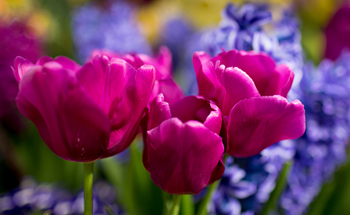 Cluster of purple tulips
