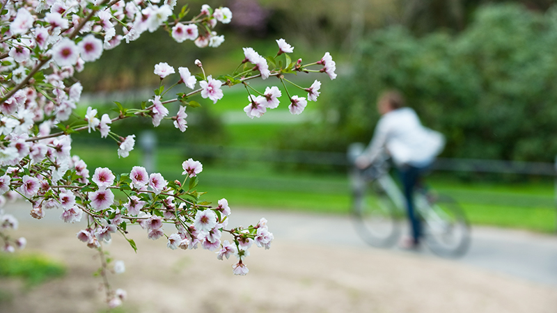 Student riding a bicycle past spring blooms