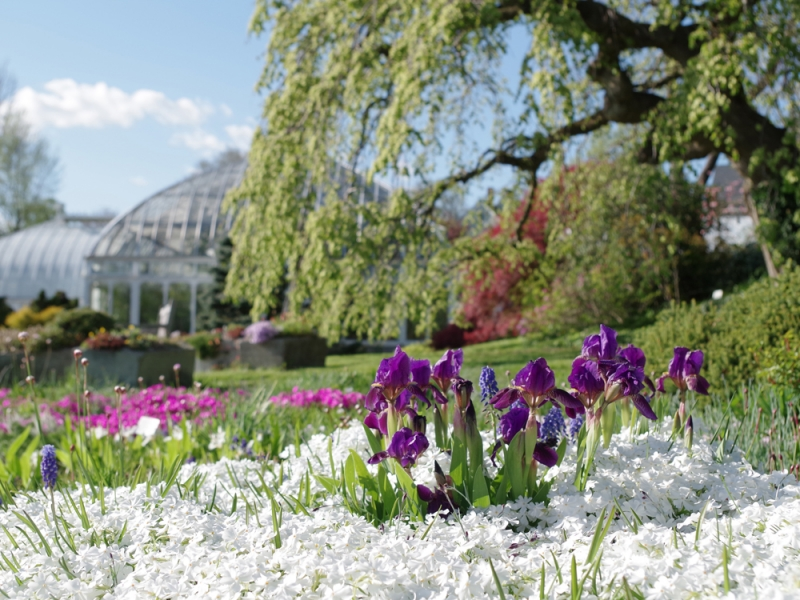 Irises among white flowers with the Lyman conservatory in the background