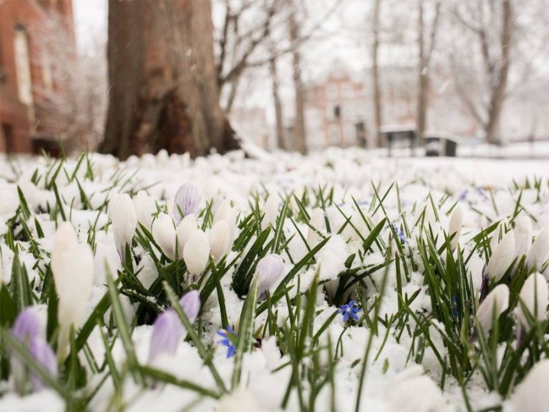 Spring flowers in the snow
