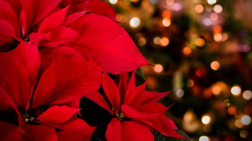 Poinsettias at Christmas Vespers