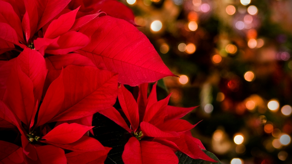 Poinsettias at Christmas Vespers